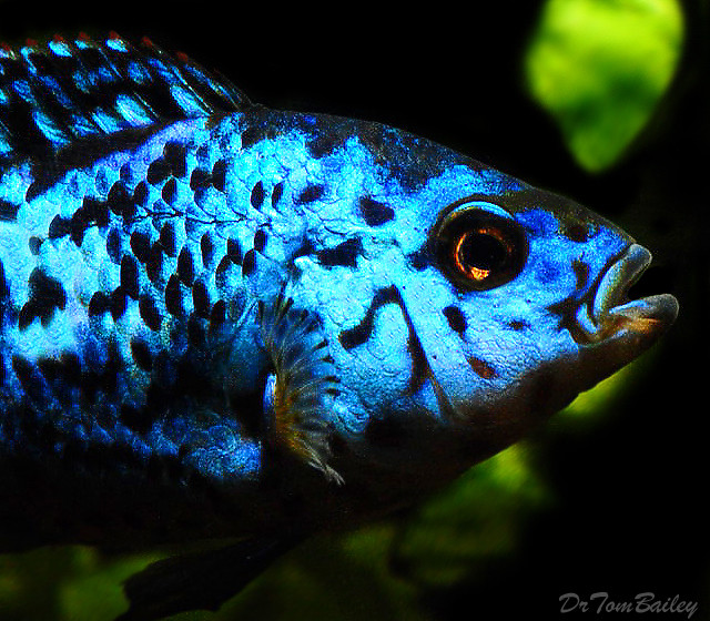 "Premium Rather Rare, Electric Blue Jack Dempsey, 1"" to  1.5"" long"