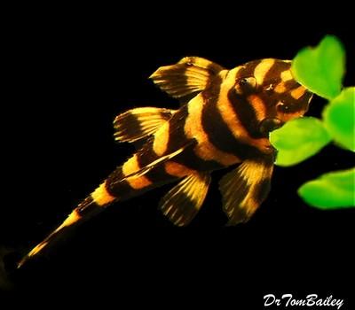 Premium Rare and WILD, Butterfly Pleco, L168, Size: 2.5