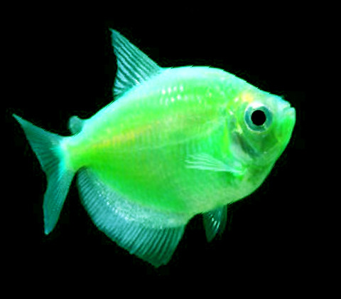 "Premium Electric Very-Green GloFish Tetra, 1"" to 1.5"" long"