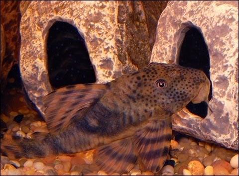 Premium, Wild, Rare, Peckoltia Plecostomus Catfish L147, 2.5