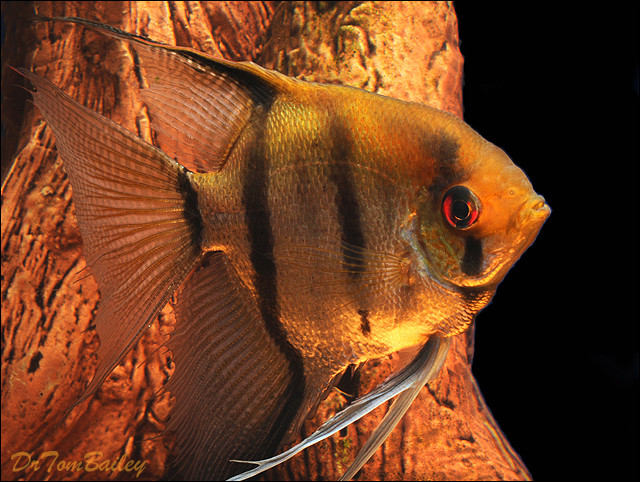 "Premium Silver Angelfish, 3"" to 3.5"" tall"