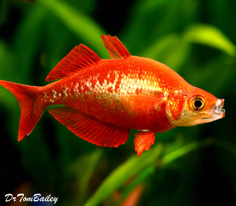 "Premium Irian Red Rainbowfish, Size: 1.5"" to 2"""
