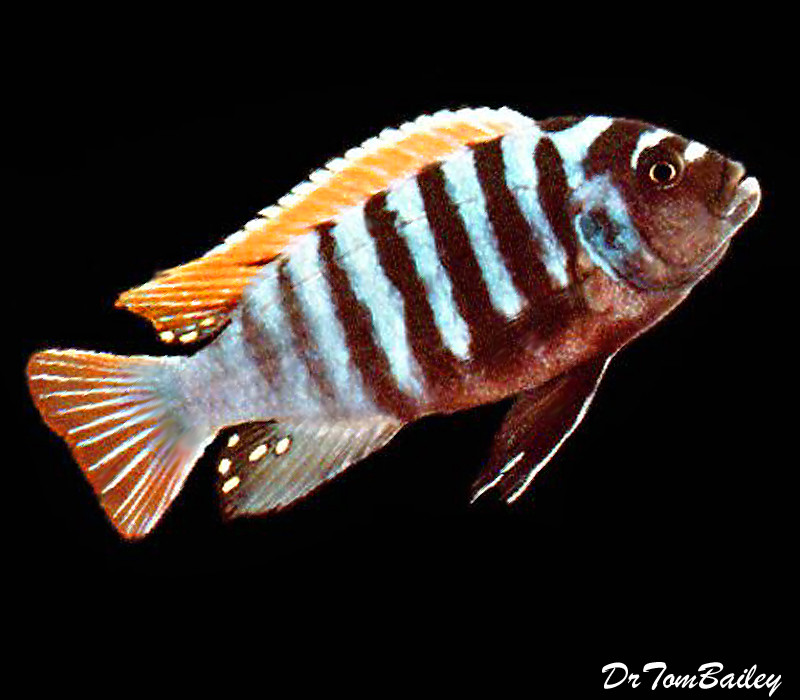 BABY Clown Afra Mbuna Cichlid from Jalo Reef in Lake Malawi, 0.5