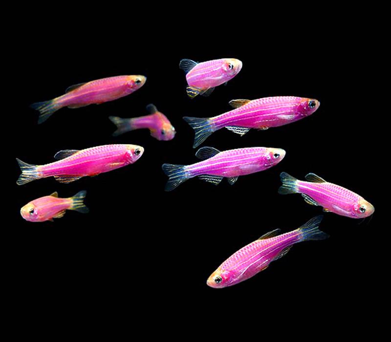 Premium Galactic Very-Purple GloFish Danio, 1