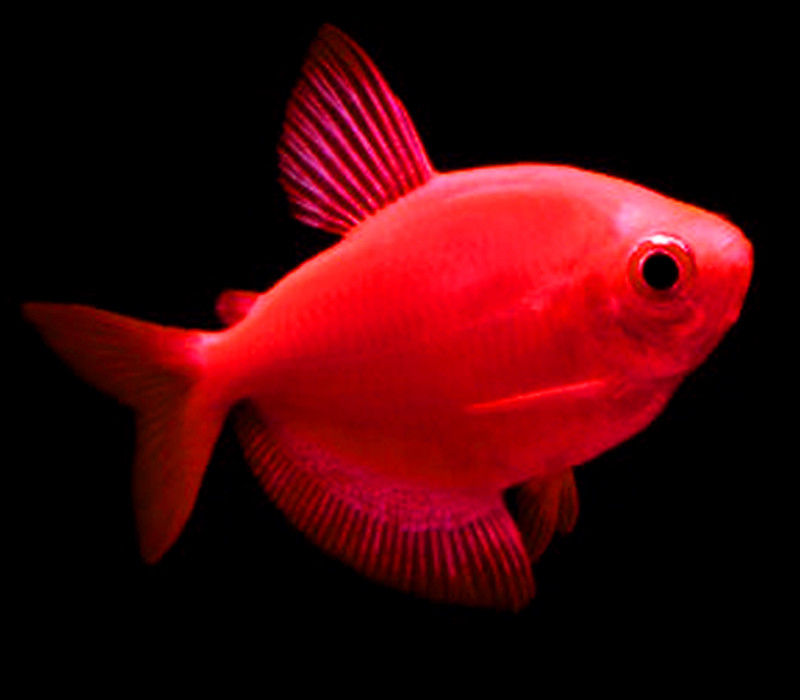 "Premium Starfire Red-Red GloFish Tetra, 1"" to 1.5"" long"