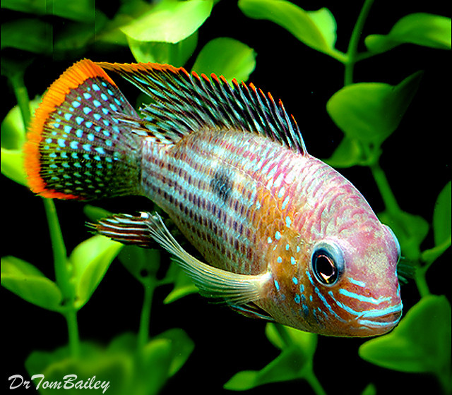 "Premium Green Terror Cichlid from Ecuador and Peru in South America, 1.5"" to 2"" long"