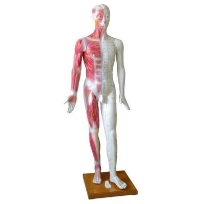 Akupunktur Modell Man , Life Size 178cm