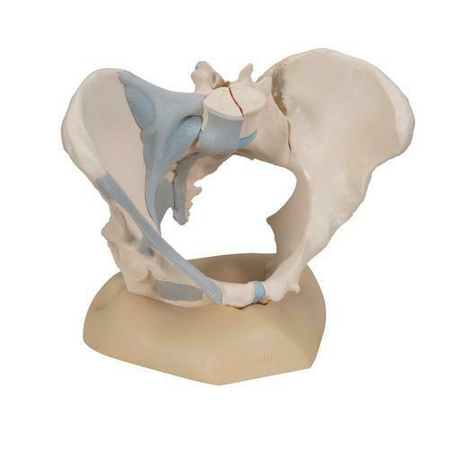 Kvinnligt Bäcken med Ligament , 3 delar , H20/2
