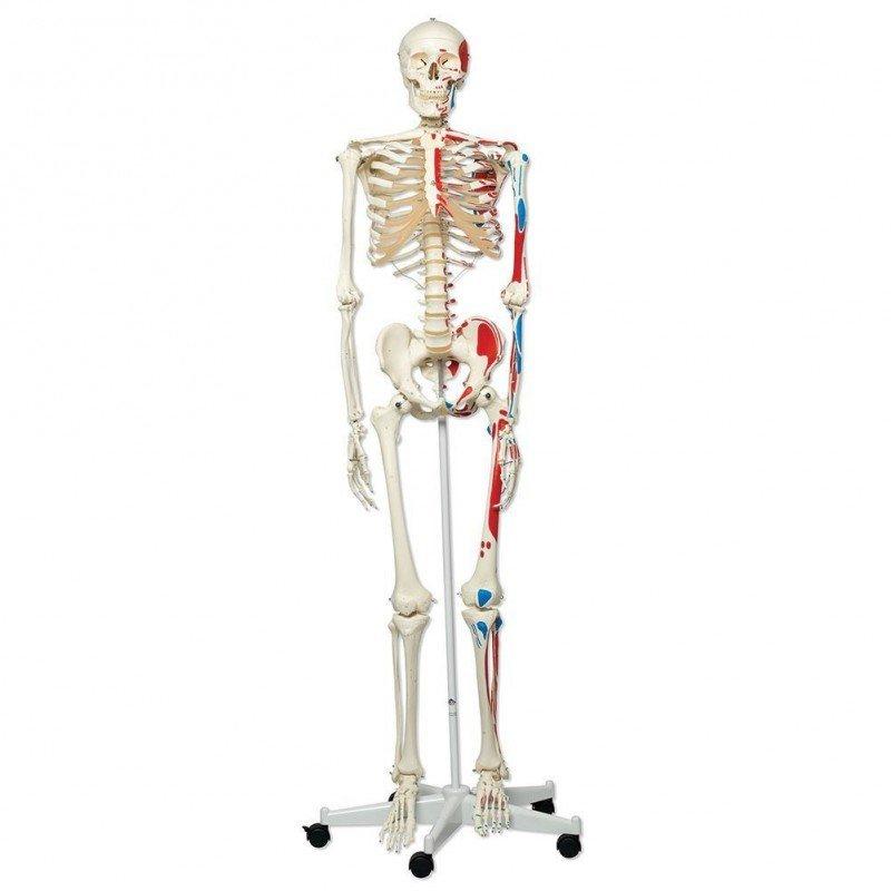Skelett Max med Påmålade Muskler  , A11