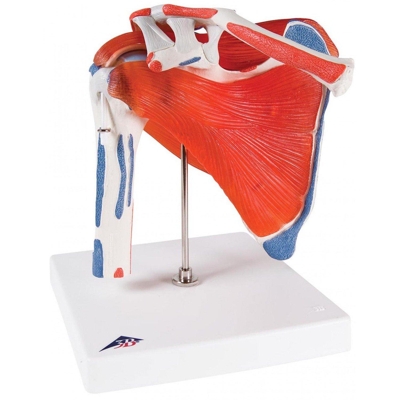 Axel/Skulderled med avtagbara muskler , A880