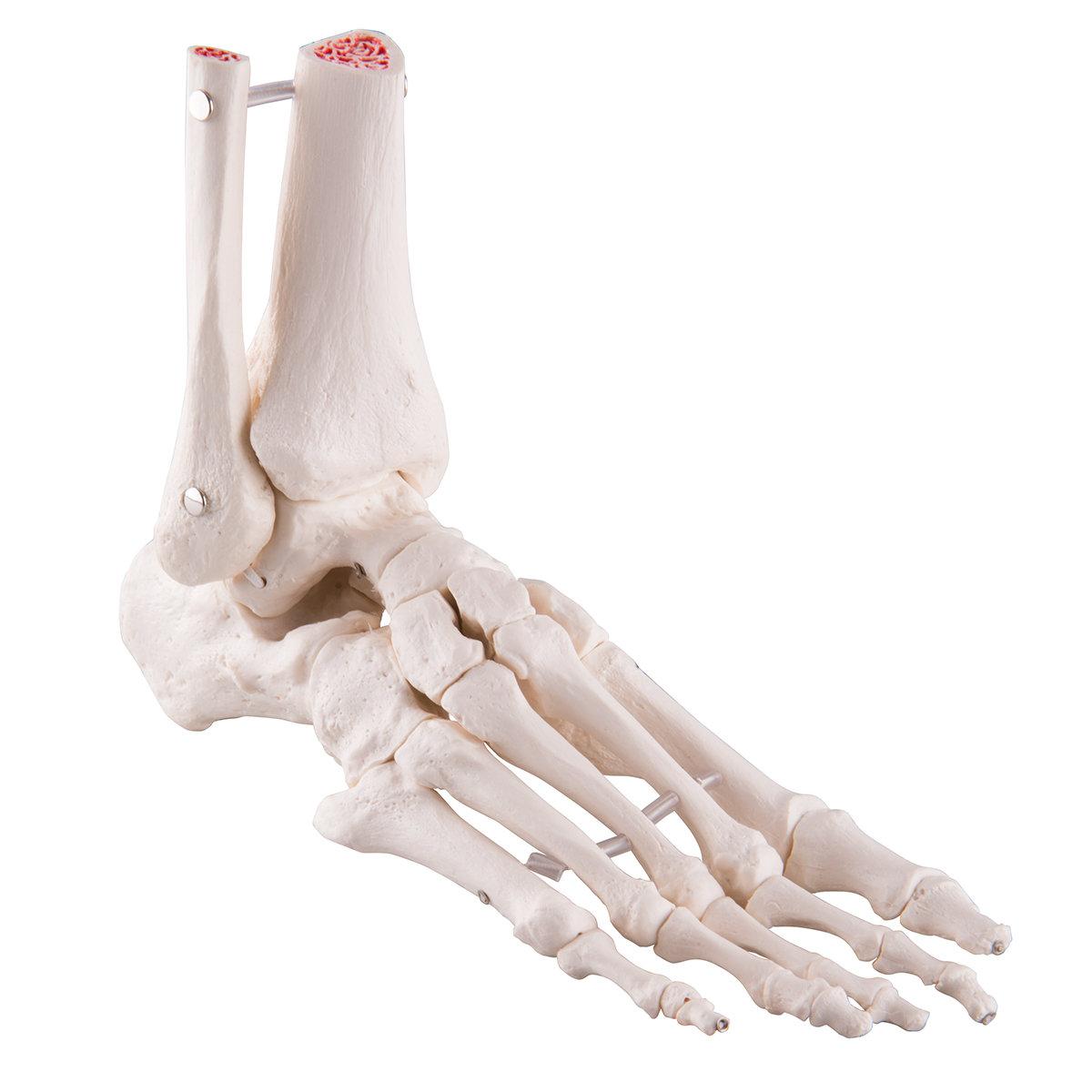 Fot & Fotleds Skelett med tibia & fibula , A31