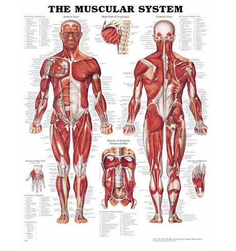 Muskelatur Man (ACC)
