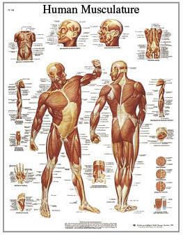 Muskelatur Man (3B)