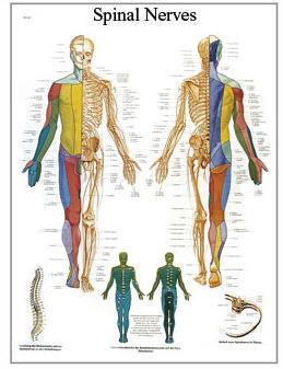 Spinal Nerver (3B)