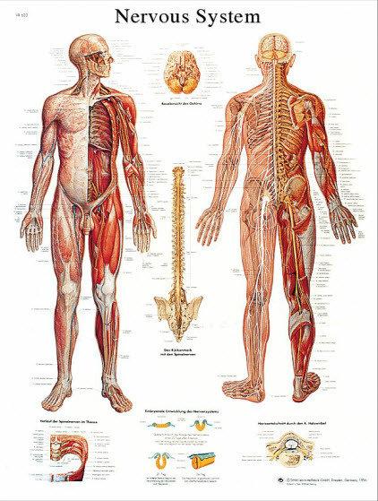 Nervsystemet (3B)