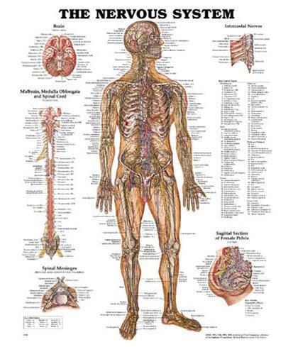 Nervsystemet (ACC)