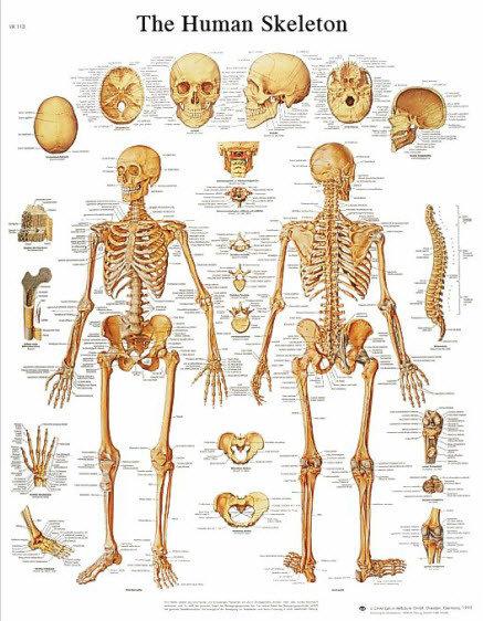 Skelettet (3B)