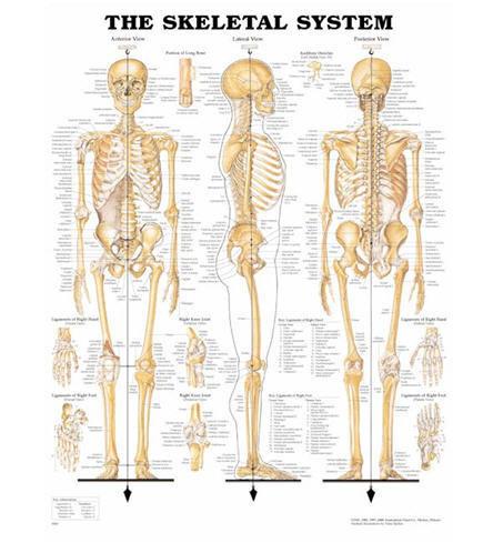 Skelettet (ACC)
