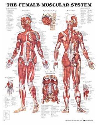 Anatomiska Planscher Mjukplast 50x65cm eller 50x67cm