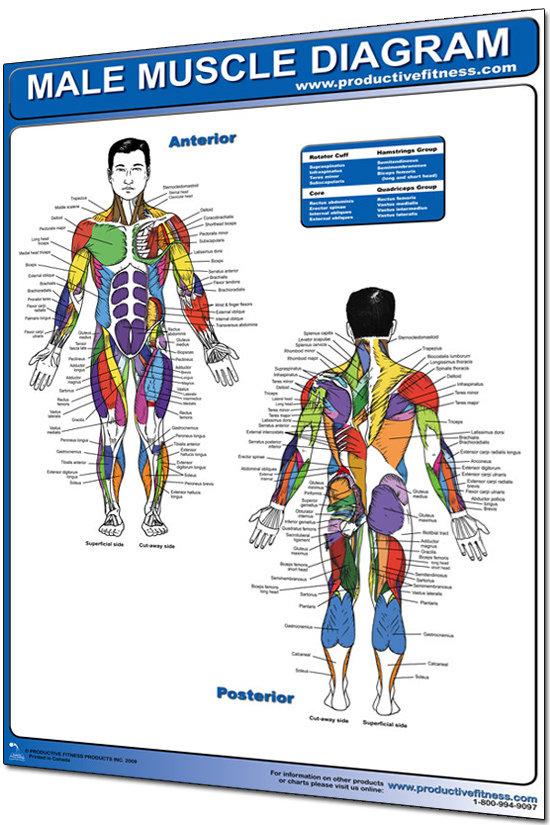 Anatomi Man
