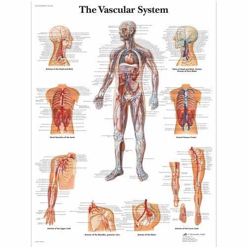 Vascular System (3B)