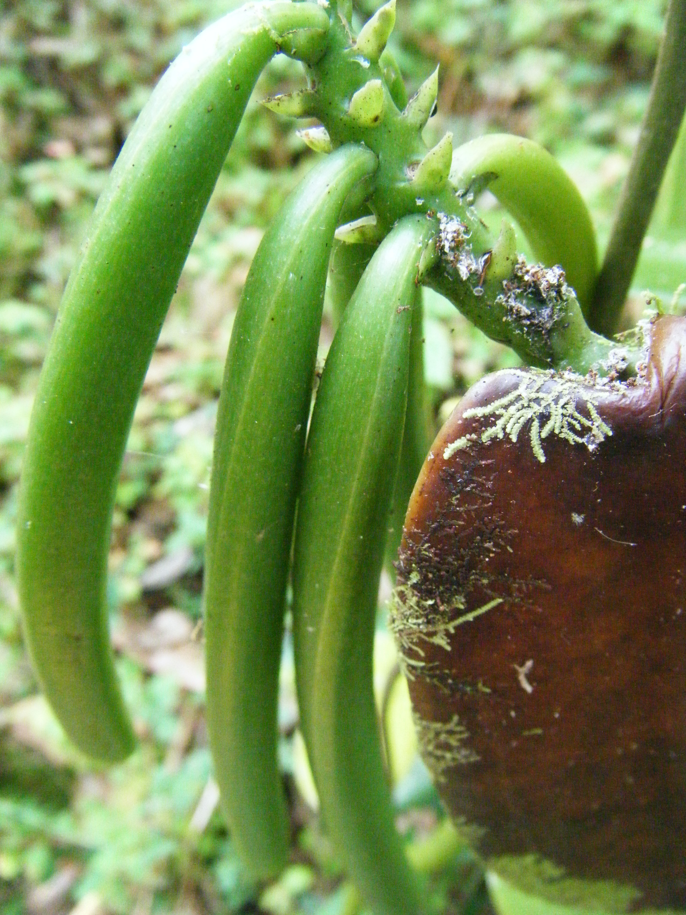 Growing Vanilla Beans