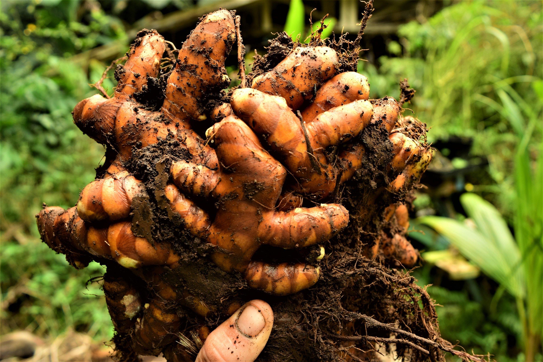 freshly harvested turmeric clump.