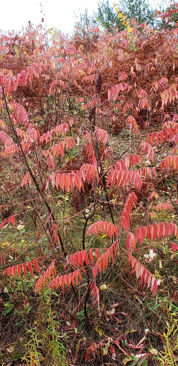 Staghorn sumac (10 stems)