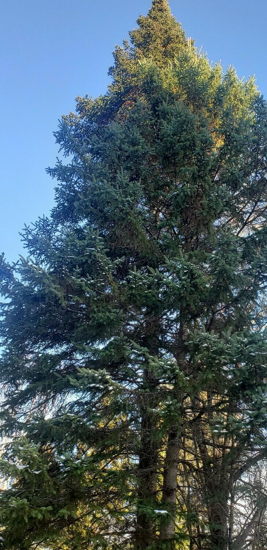 Red spruce (10 stems)
