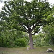 Burr Oak (10 stems)