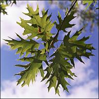 Red Oak  (10 stems)