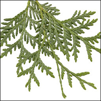 Eastern White Cedar  (10 stems)