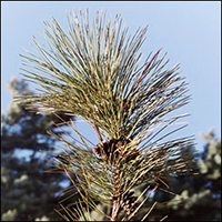 Red Pine  (10 stems)