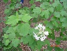 Highbush Cranberry (10 stems)