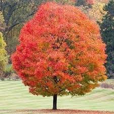 Red Sugar Maple
