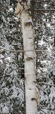 White birch (10 stems)
