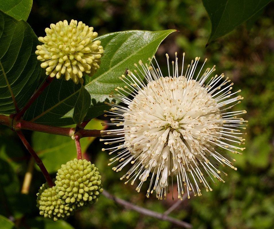 Buttonbush (10 stems)