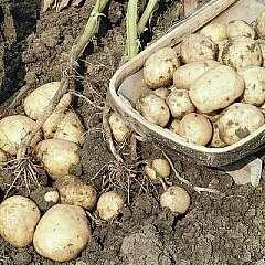 Seed Potato Home Guard (per Kg)