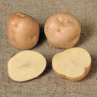 Seed Potato Epicure (per Kg)