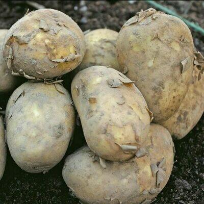 Seed Potato International Kidney (per Kg)