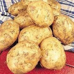 Seed Potato Foremost (per Kg)