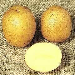 Seed Potato Winston (per Kg)