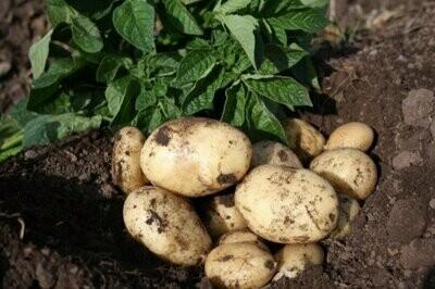 Seed Potato Casablanca (per Kg)