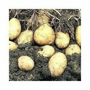 Seed Potato Arran Pilot (per Kg)