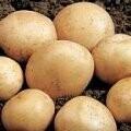 Seed Potato Rocket (per Kg)
