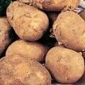 Seed Potato Pentland Javelin (per Kg)