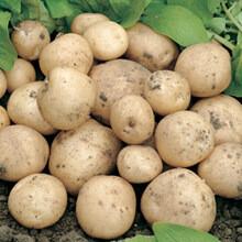 Seed Potato Swift (per Kg)