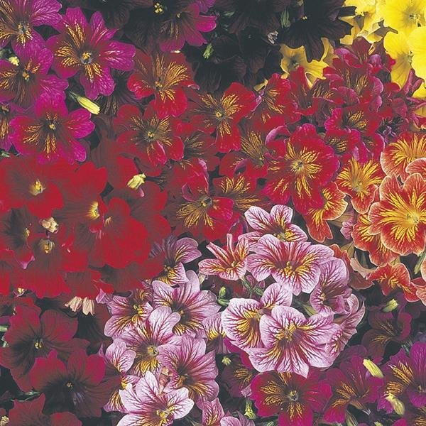 Mr Fothergills Flower RHS Salpiglossis Royale Mixed F1-50 Seeds