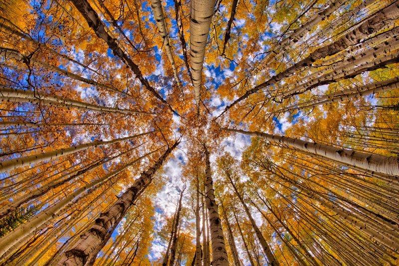 "20"" x 30"" METAL PRINT of Aspen Fall Foliage, Colorado"