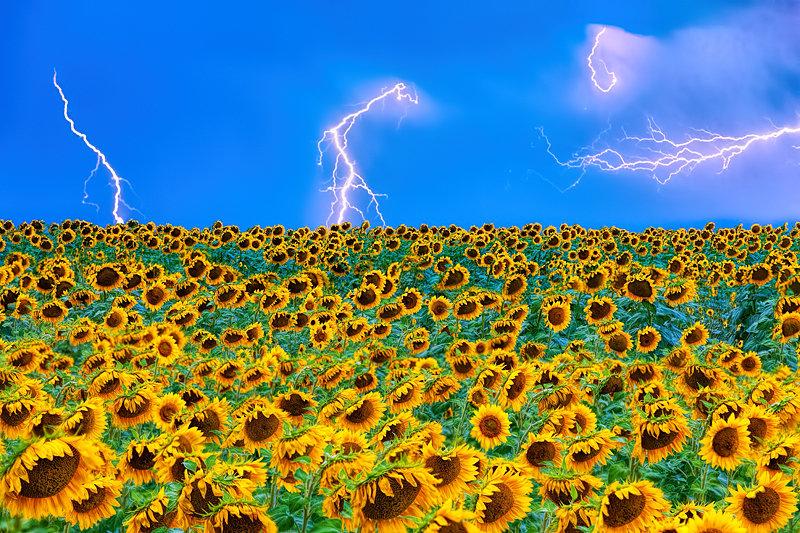 """12"""" x 18"""" METAL PRINT of Sunflowers, Colorado"""